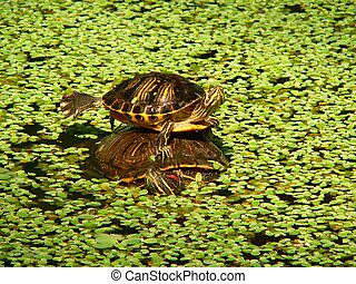 Stagno accatastato tartarughe immagini di archivi di for Stagno tartarughe