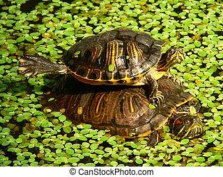 Stagno accatastato tartarughe immagini di archivi di for Stagno per tartarughe