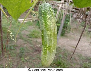 testy and healthy fresh cucumber on tree on garden