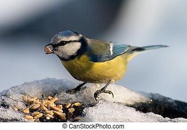 teta azul, pássaro, comer, sementes