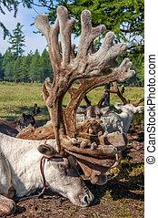 Tethered reindeer in northern Mongolia - Tethered reindeer...