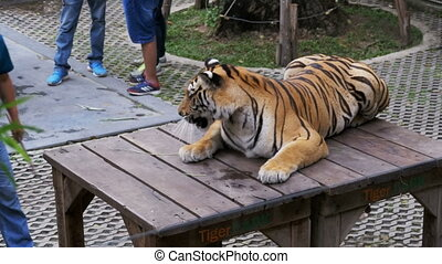 Tethered tiger in the park for taking photos with tourists....