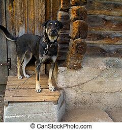 Tethrered dog near a kennel