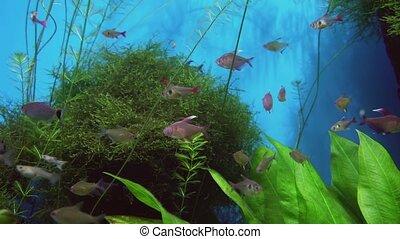 Tetragonopterus in freshwater aquarium stock footage video -...