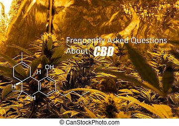 Tetrahydrocannabinol (THC) general cannabinoids in marijuana...