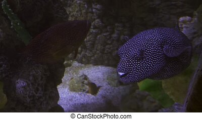 Tetraodon is a genus in the pufferfish family