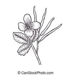 Tetterwort plant showing flowers and seed pod. - Greater...