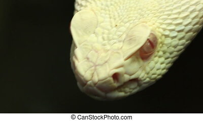 Texan Pit Viper - Close-up shot of terrifying pit viper...