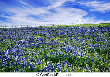 texas, bluebonnet, fält, i blomster