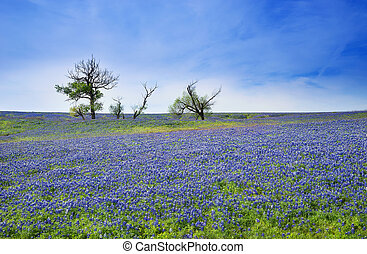 Texas Bluebonnet field blooming in the spring