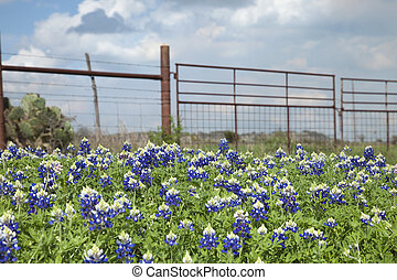 Texas bluebonnets and ranch fence in the hill country of Texas