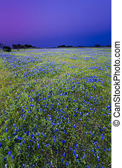 Texas Bluebonnets at Dusk