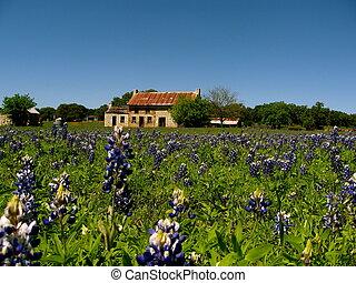 texas, bluebonnets