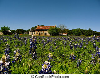 Texas Bluebonnets - Bluebonnets in the Texas Hill Country