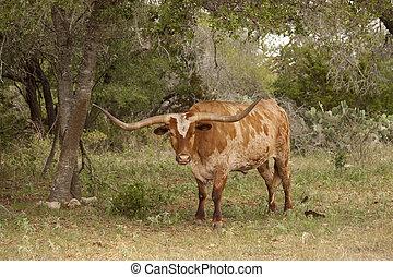 Texas Long Horn Cow