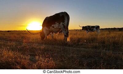 Texas Longhorn cattle farming sunset / sunrise landscape