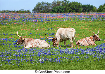 Texas longhorn cattle grazing in bluebonnet wildflower pasture