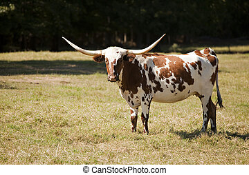 Texas Longhorn Cow in Meadow - A Texas longhorn cow in an...