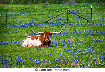Texas longhorn in bluebonnet wildflower pasture