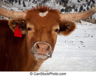 Texas Longhorn - Texas longhorn on the farm in Silverthorne,...