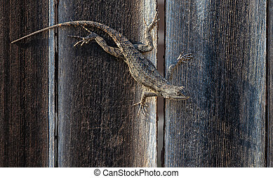 Texas spiny lizard camouflaged on wooden fence