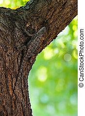 Texas spiny lizard (Sceloporus olivaceus) camouflaged on tree bark