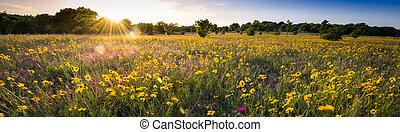 Texas Sunflower Panorama