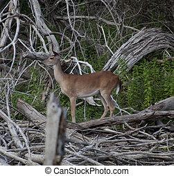 Texas White Tail Deer
