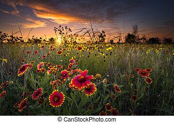 texas, wildflowers, à, levers de soleil