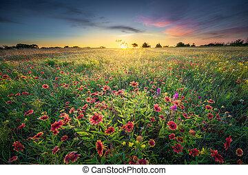 Texas Wildflowers at Sunrise