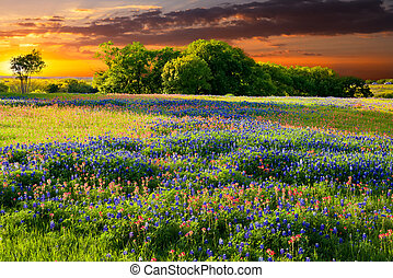 Bluebonnets and Indian paintbrushes in late afternoon light