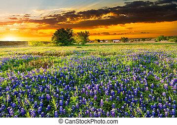 Texas Wildflowers - Bluebonnets  in early morning light