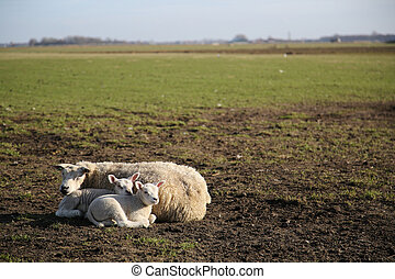 New born lamb in the meadows of Texel