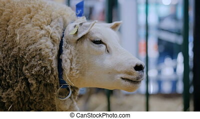 Texel sheep eating hay at animal exhibition, trade show - close up