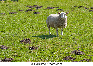Texel sheep standing in lush grass field (1)