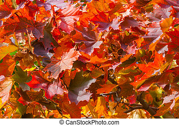 Texture, background. A branch of autumn maple