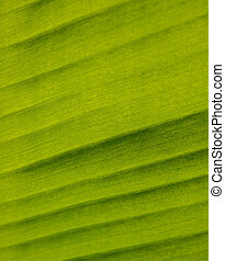 Texture banana leaf