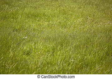 Texture of a cultivation of wheat