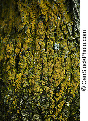 texture of an old tree bark with moss