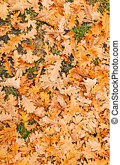 Texture of autumn leaves. Yellow oak leaf litter on the floor in