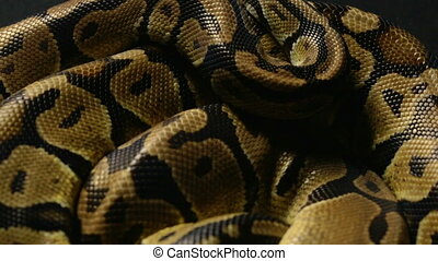 Texture of ball python's snakeskin - Footage of royal ball...