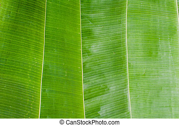 texture of banana leaf. Tropical background