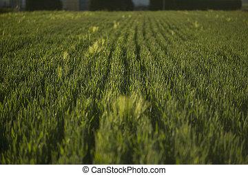 Texture of barley ears
