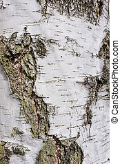 Texture of birch bark