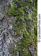 Texture of birch trunk with moss