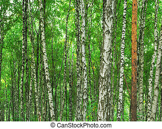Texture of birch wood
