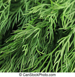 Texture of fresh dill herb close up.