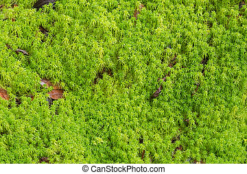 Texture of fresh green Peat moss, Sphagnum Moss growing in...