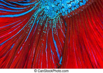 texture of red tail siamese fighting fish (betta splendens)