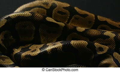 Texture of royal ball python's snakeskin - Footage of royal...